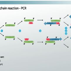 Polymerase Chain Reaction Diagram Hunter Fan Wiring With Remote Taq Polymerase: Definition & Function - Video Lesson Transcript   Study.com