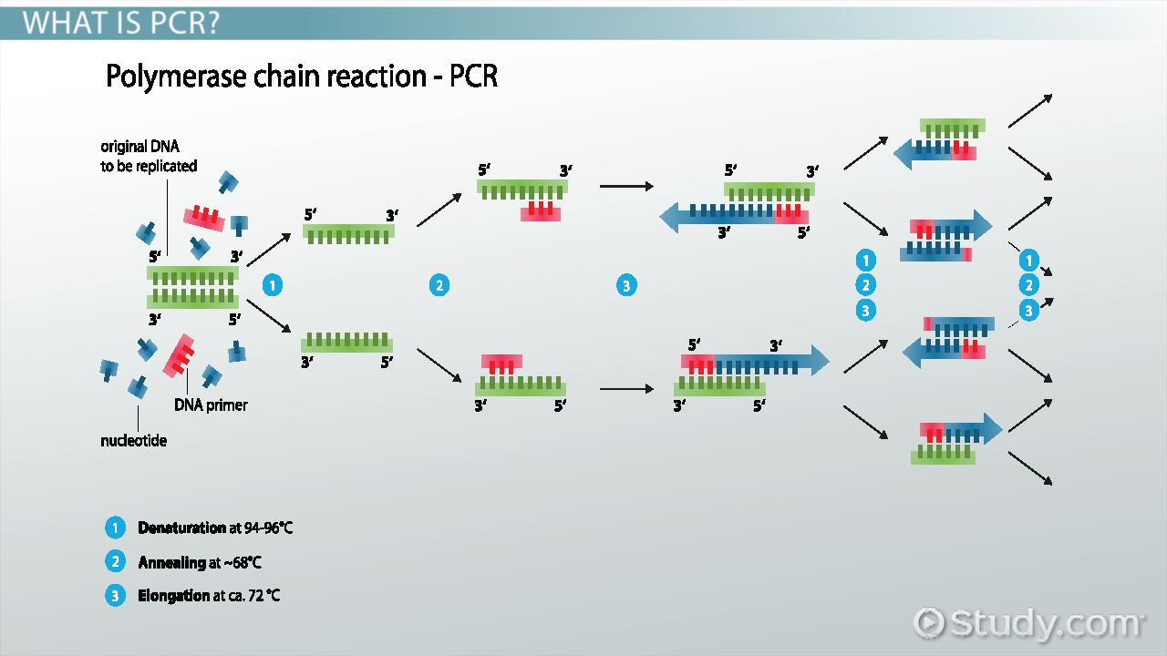 polymerase chain reaction diagram dodge truck fuse box taq polymerase: definition & function - video lesson transcript | study.com