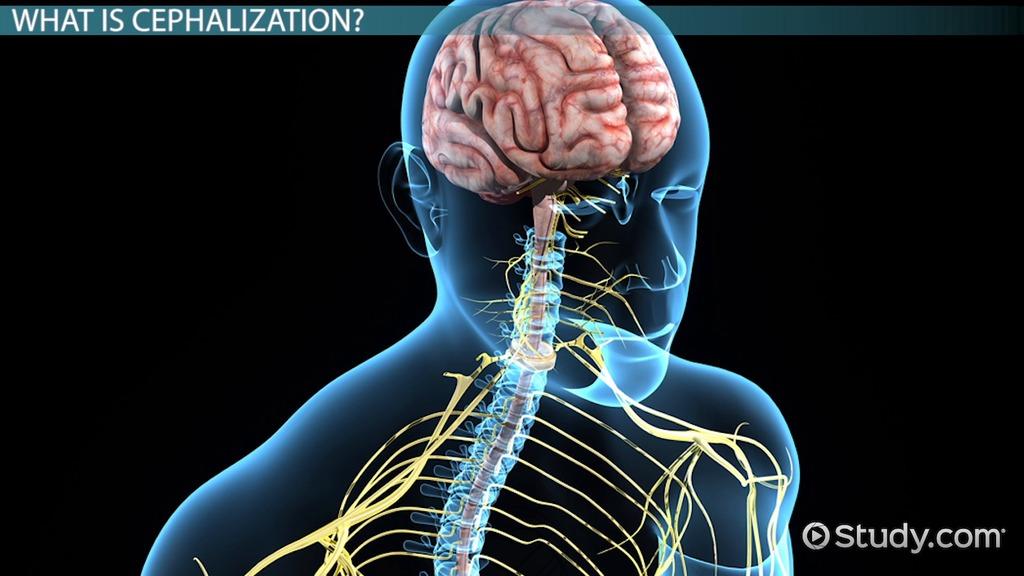 What is Cephalization  Definition  Advantage  Video  Lesson Transcript  Studycom