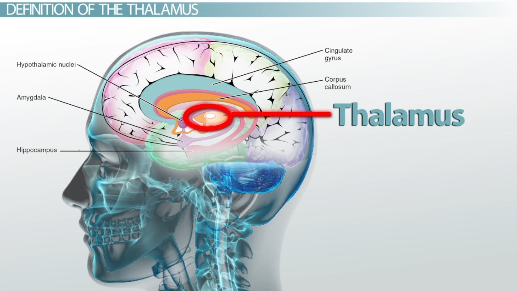 brain diagram thalamus venn answers regions definition functions and location video