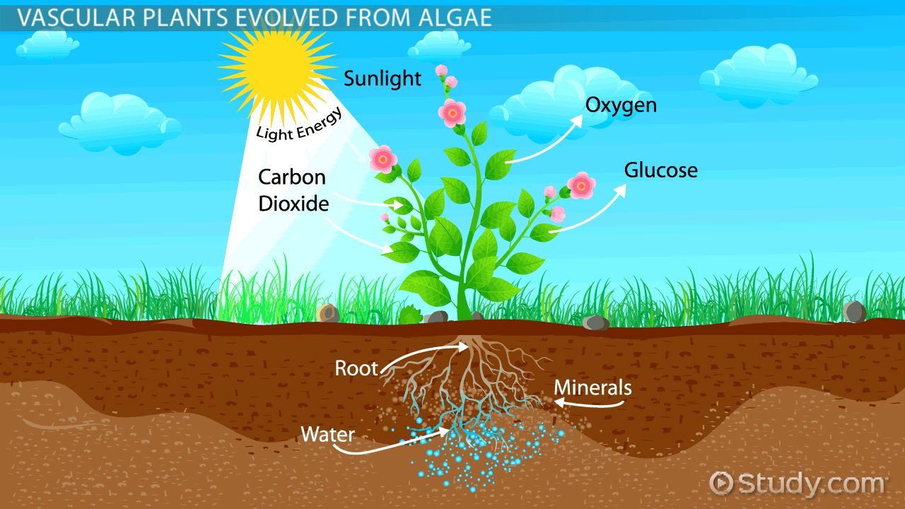 The Evolution Of Vascular Plants Video & Lesson