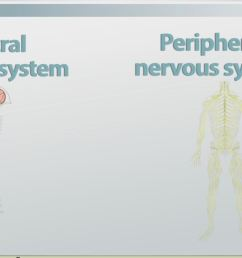 the human nervous system parts functions video lesson transcript study com [ 1319 x 749 Pixel ]