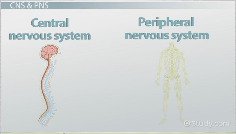 medium resolution of the human nervous system parts functions video lesson transcript study com