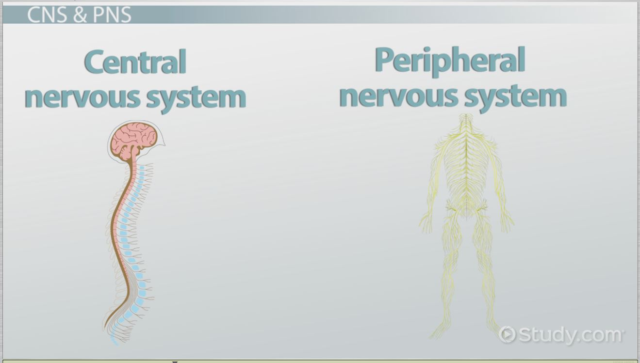 hight resolution of the human nervous system parts functions video lesson transcript study com