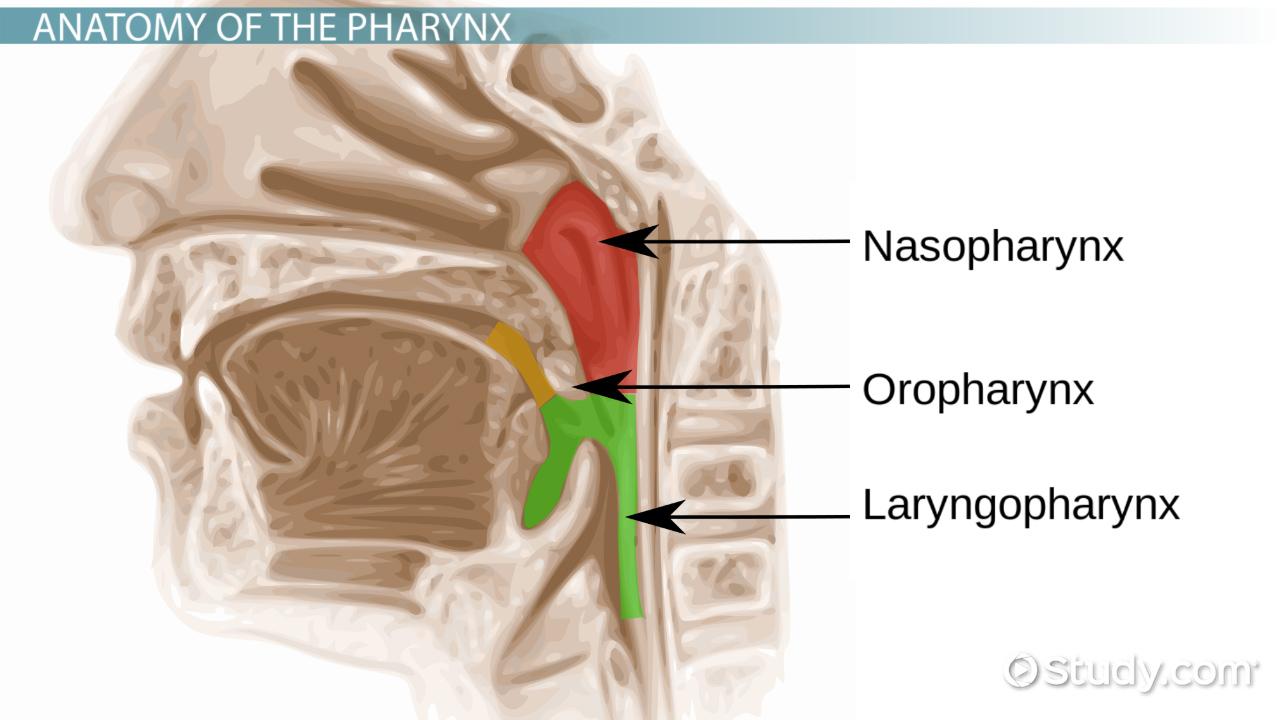 hight resolution of pharynx anatomy definition