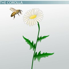 Complete Flower Diagram Porsche Cayenne Wiring Corolla Of A Structure Function And Definition