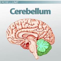 Brain Diagram Pons Trailer Lights Wiring Australia Cerebellum Definition And Function Video Lesson
