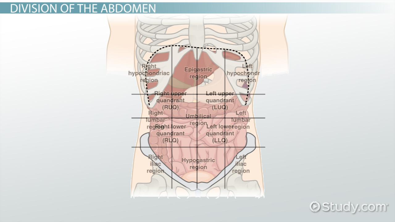 hight resolution of the 4 abdominal quadrants regions organs