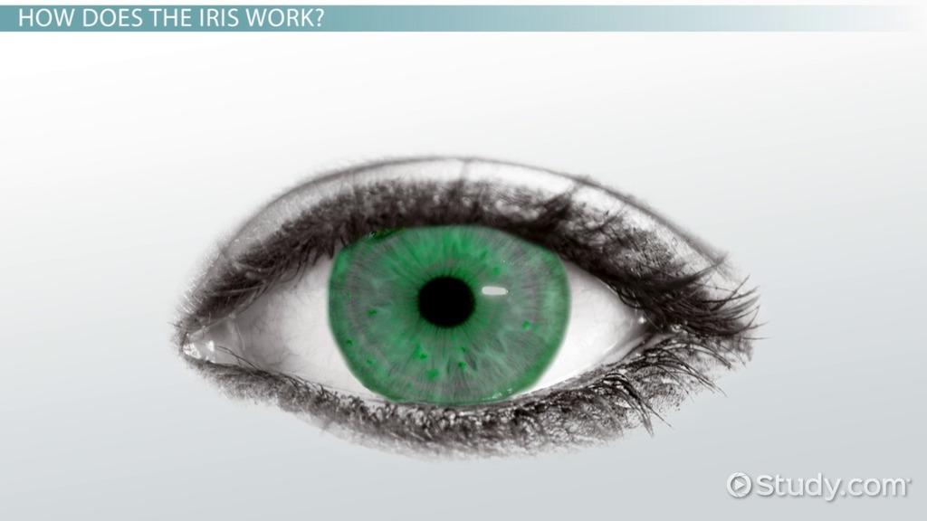 Iris Definition & Function Video & Lesson Transcript