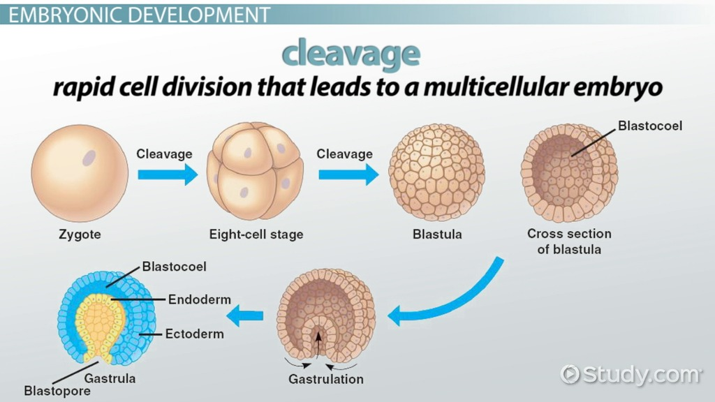simple diagram of meiosis directv wiring diagrams cleavage in animal development: definition, patterns & regulation - video lesson transcript ...