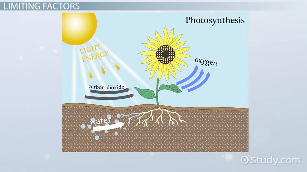 Limiting Factors Of Photosynthesis Video & Lesson