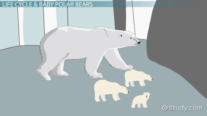Polar Bear Life Cycle Lesson For Kids Video Amp Lesson