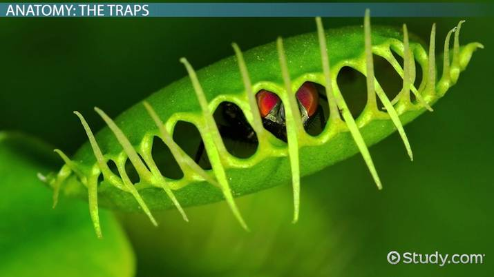 Venus Fly Trap Diagram Labeled Labeled Diagram Of A Venus Fly Trap