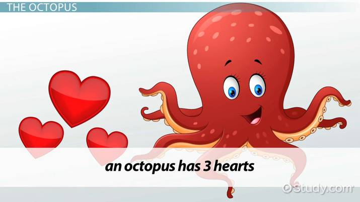 octopus water vascular system diagram 2004 dodge stratus o2 sensor wiring the circulatory video lesson transcript study com