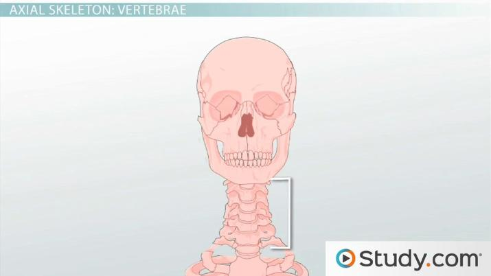 axial skeleton skull diagram bird life cycle functions and anatomy video lesson transcript thumbnail