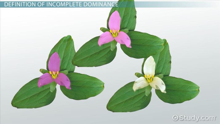 Incomplete Dominance Definition Amp Example Video