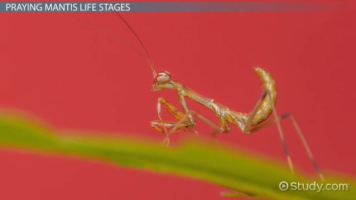 Praying Mantis Facts  Life Cycle  Video  Lesson Transcript  Studycom