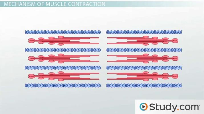 Muscle Contraction Actin And Myosin Bonding Video & Lesson