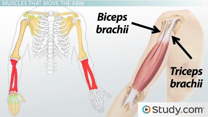 triceps brachii diagram 2003 honda civic hybrid wiring muscular function and anatomy of the arms major muscle groups video thumbnail