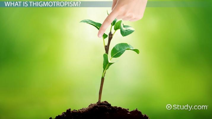 Thigmotropism in Plants Definition  Overview  Video  Lesson Transcript  Studycom
