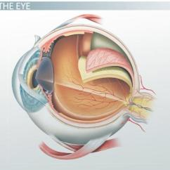 Eye Labeling Diagram Quiz Endocrine Feedback Loop Parts Of The And Their Functions Video Lesson Transcript Thumbnail