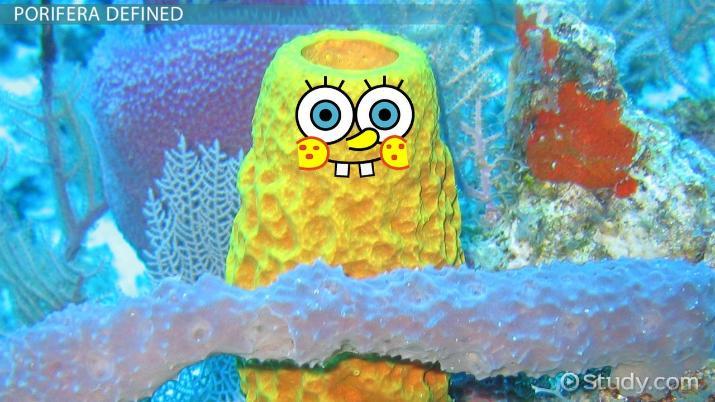Phylum Porifera Definition Characteristics & Examples