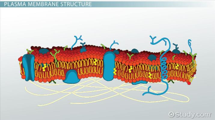 human cell wall diagram labeled create uml from java code plasma membrane of a definition function structure video thumbnail