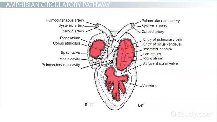 octopus water vascular system diagram rj45 wall socket wiring uk amphibians circulatory video lesson transcript study com thumbnail