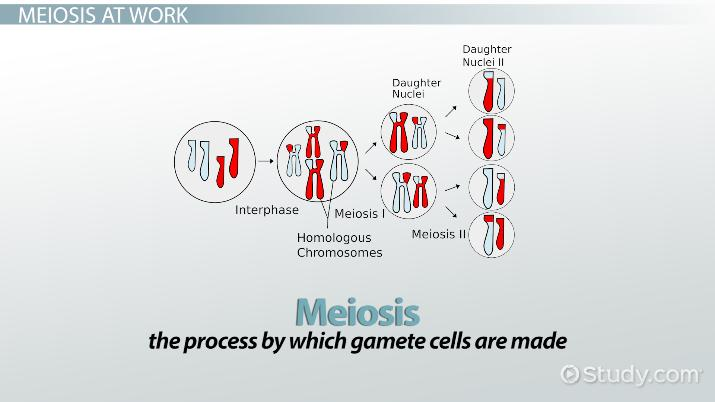 simple diagram of meiosis ata 110 wiring genetic crossing over definition concept video lesson thumbnail