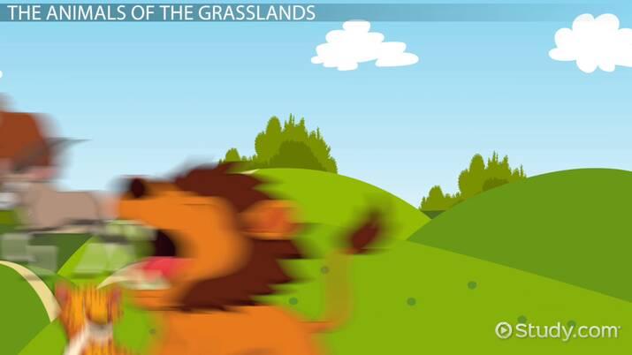 Grassland Animals Lesson For Kids Video Lesson Transcript Study Com