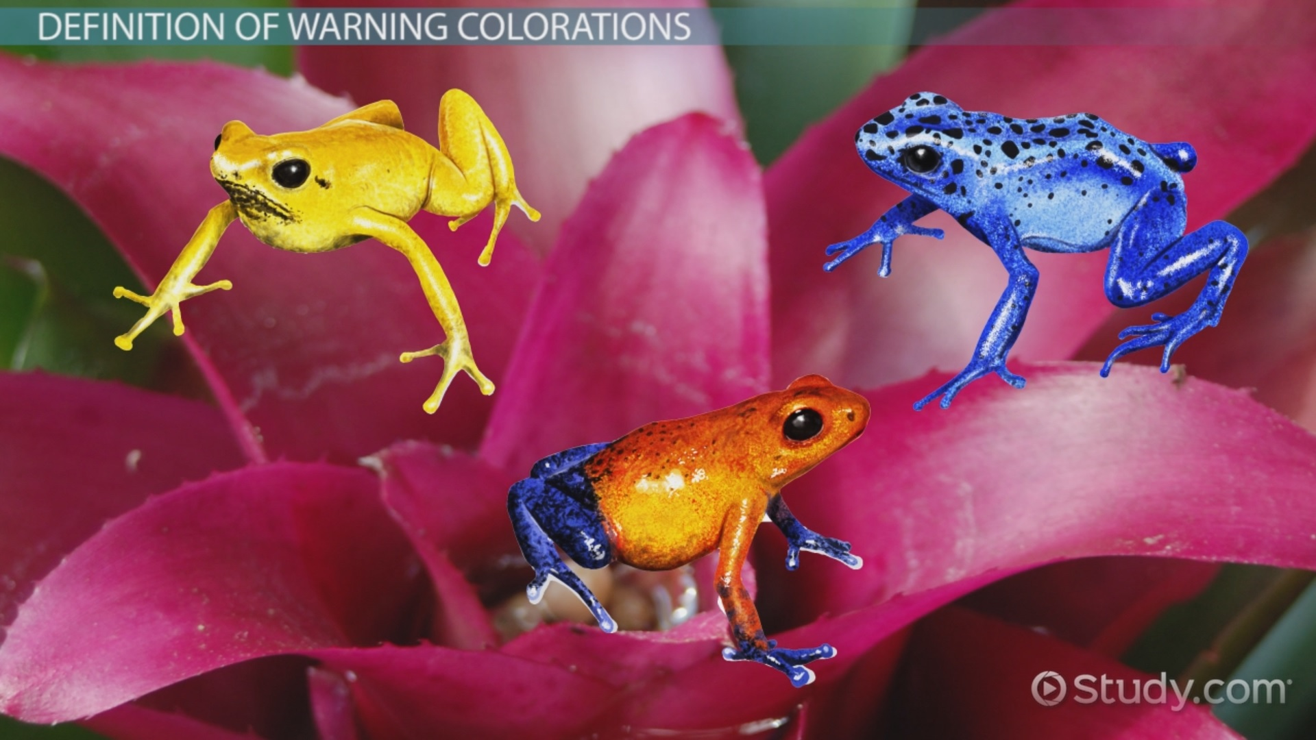 Warning Coloration In Animals Examples Overview Video