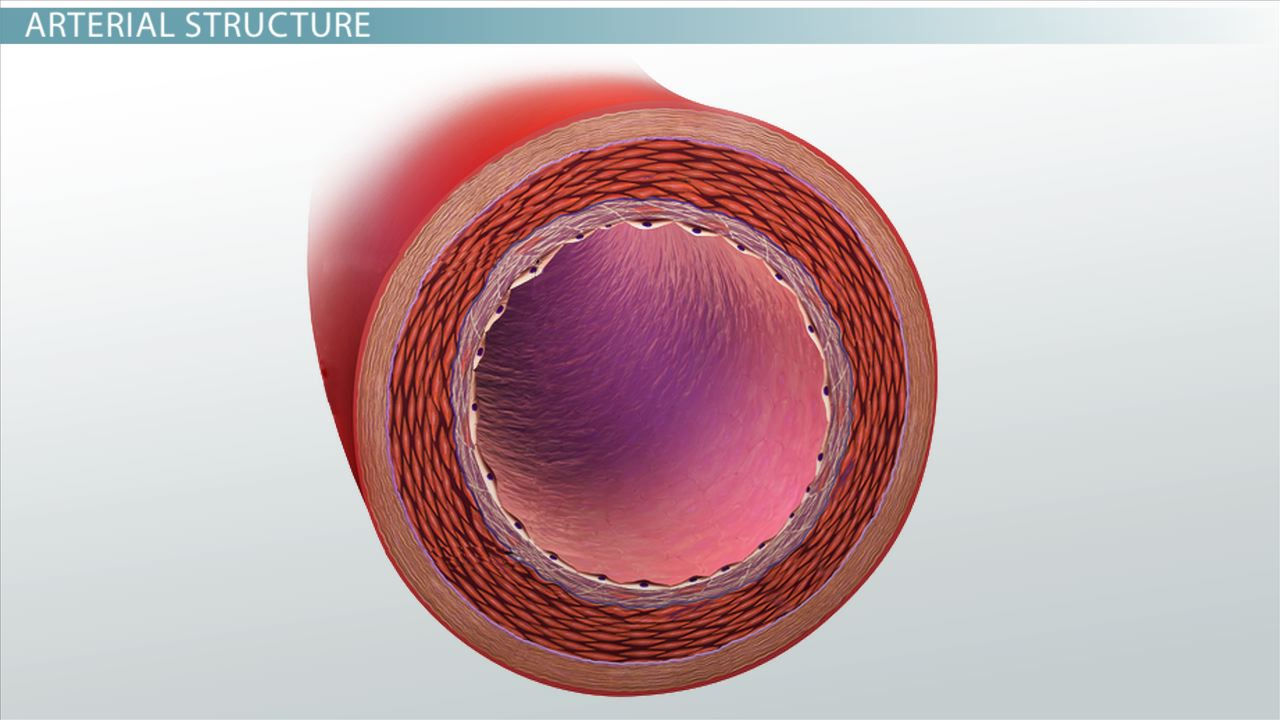 hight resolution of What are Arteries? - Function \u0026 Definition - Biology Class (Video)    Study.com