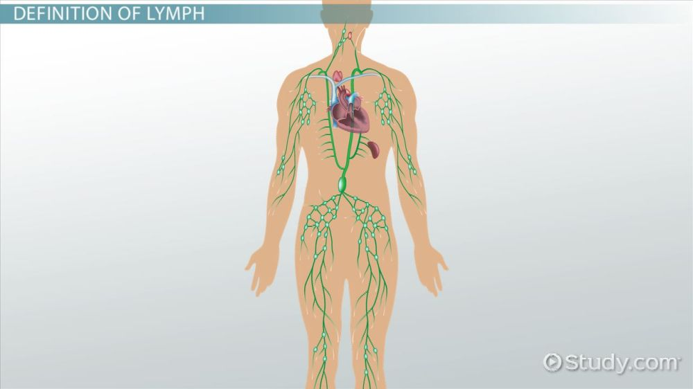 medium resolution of what is a lymph definition anatomy