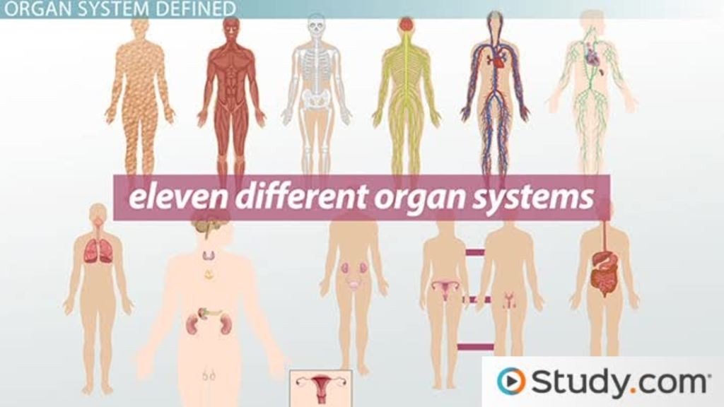 What Is An Organ System? Definition & Pictures Video