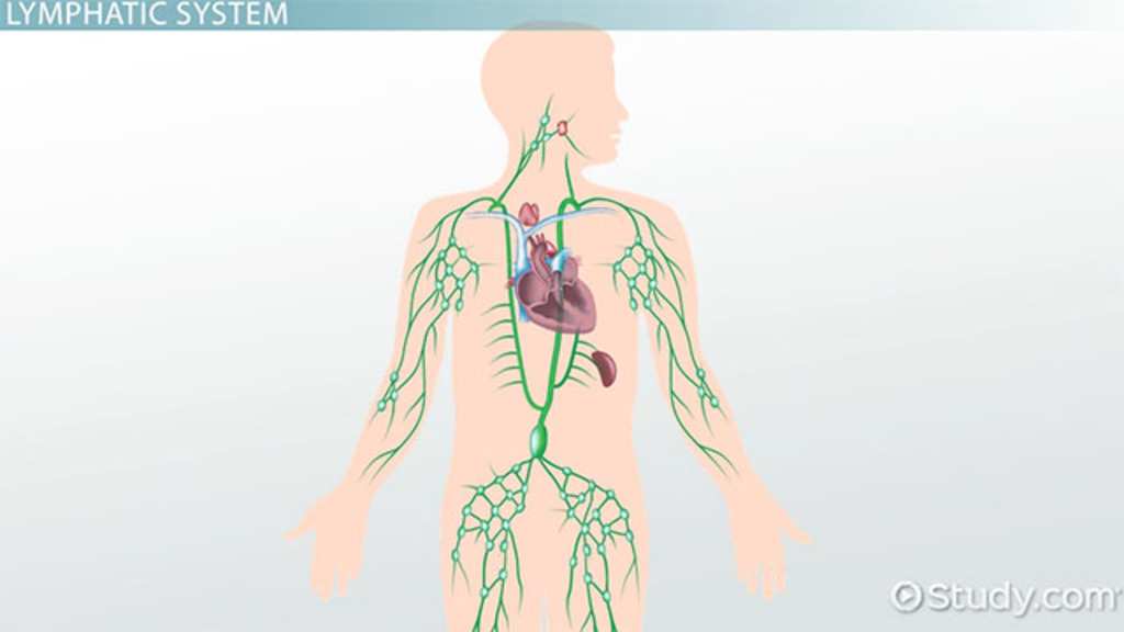 excretory system diagram labeled 7 blade wiring truck side what is the lymphatic system? - structures, function & vocabulary video lesson transcript ...