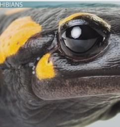 What is an Amphibian? - Definition \u0026 Characteristics - Video \u0026 Lesson  Transcript   Study.com [ 1080 x 1920 Pixel ]