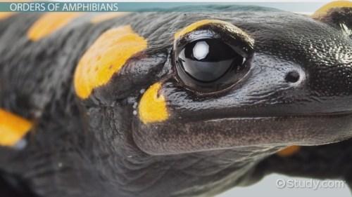 small resolution of What is an Amphibian? - Definition \u0026 Characteristics - Video \u0026 Lesson  Transcript   Study.com