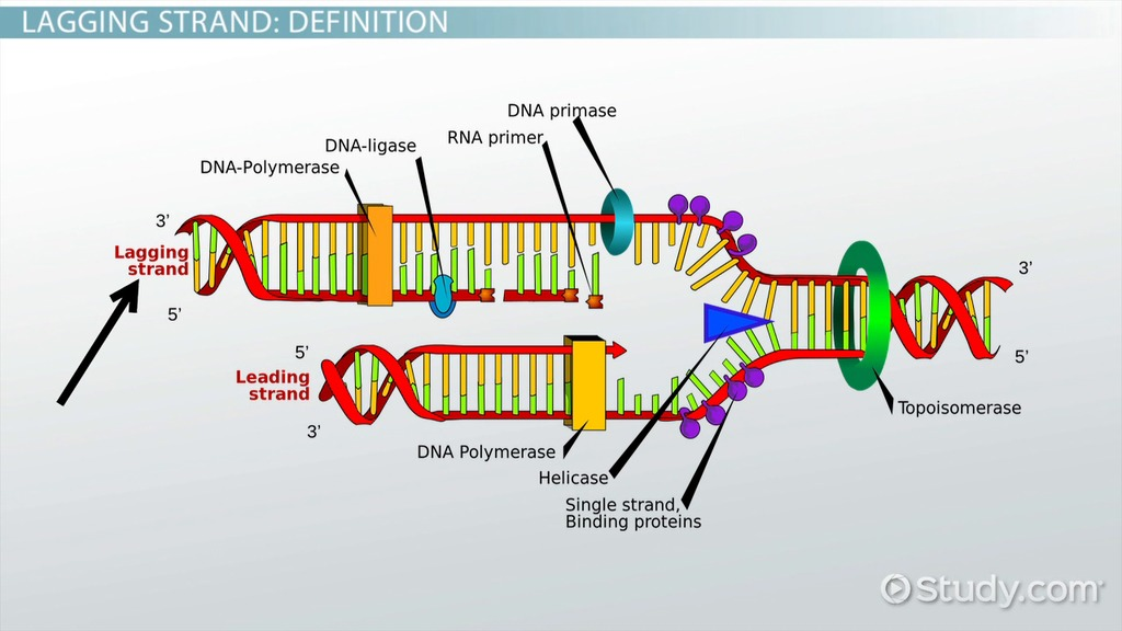 Lagging Strand of DNA Definition  Synthesis  Video