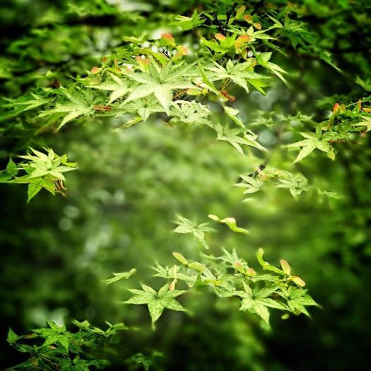 Green leaf#snapseed #iphone7plus #kyoto#yoshidashrine