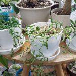 ネックレス系多肉植物