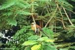 Mona Monkey sitting in a tree at Tafi-Atome Monkey Sanctuary. Copyright Cornelia Kaufmann