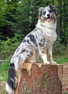 Well groomed Australian shepherd dog