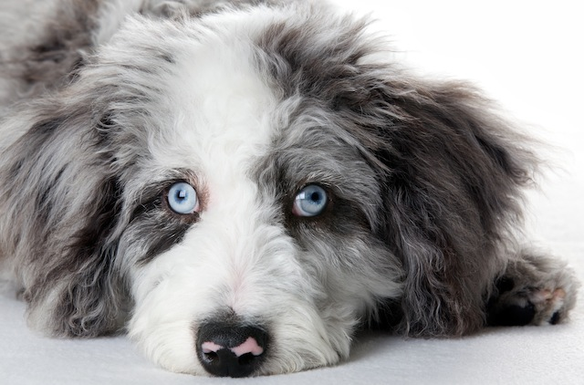 Healthy dogs eyes