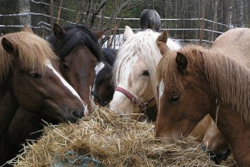 Pony Feed Time