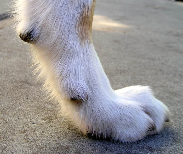 Removing Dew Claws: A Step-by-Step Overview