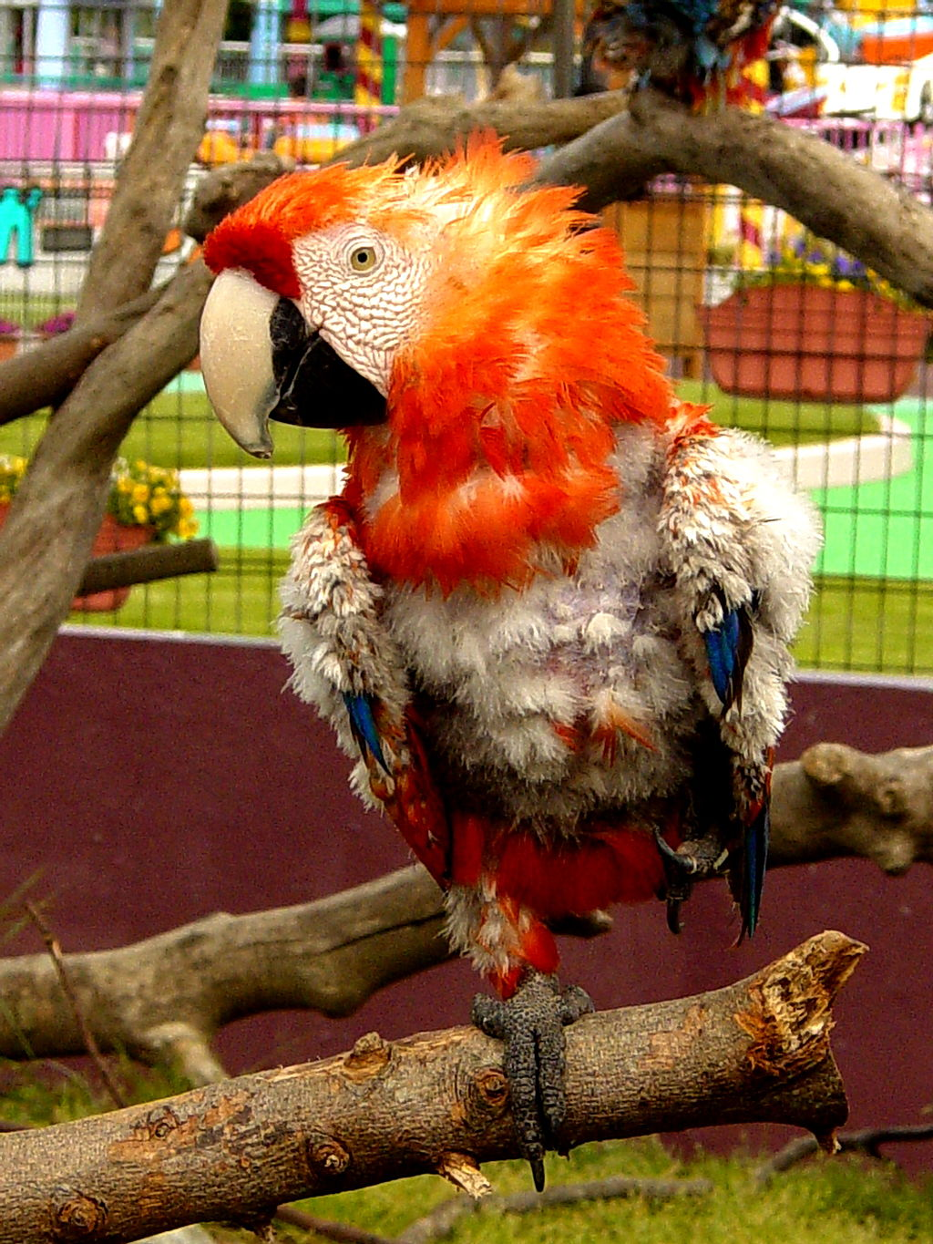 Feather Plucking in Parrots: Why does my parrot pluck its