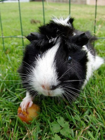 Include hay for guinea pigs in their diet
