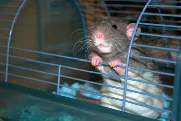 Best rat cage for pet rat