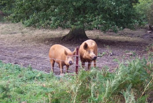 Electric hog fence