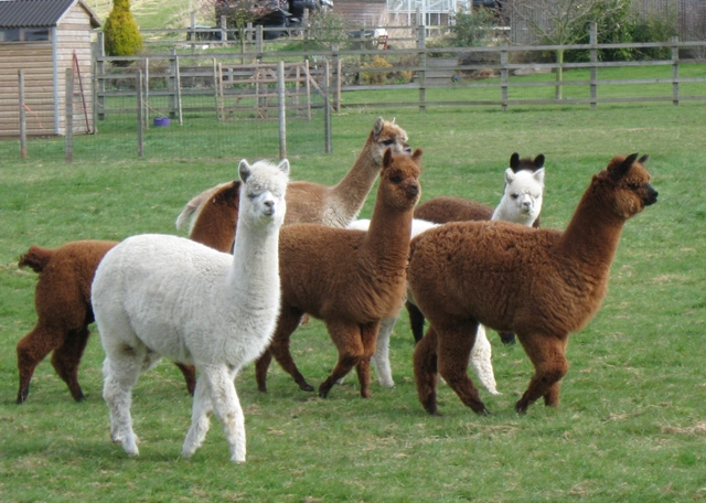 Mixed herd of alpacas
